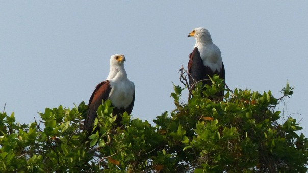 African Fish-Eagles, always on the alert 1