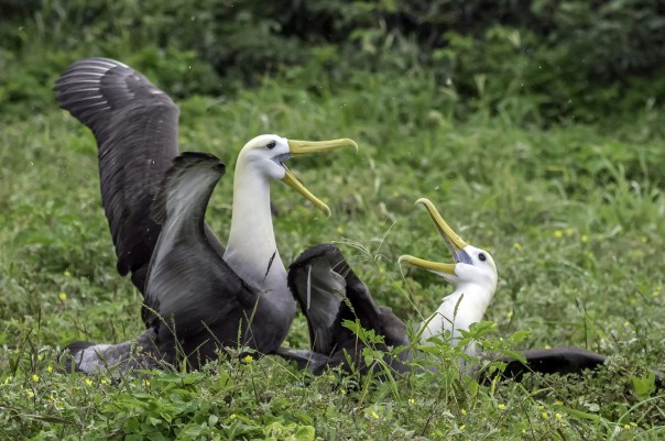Waved Albatross at Punta Suarez