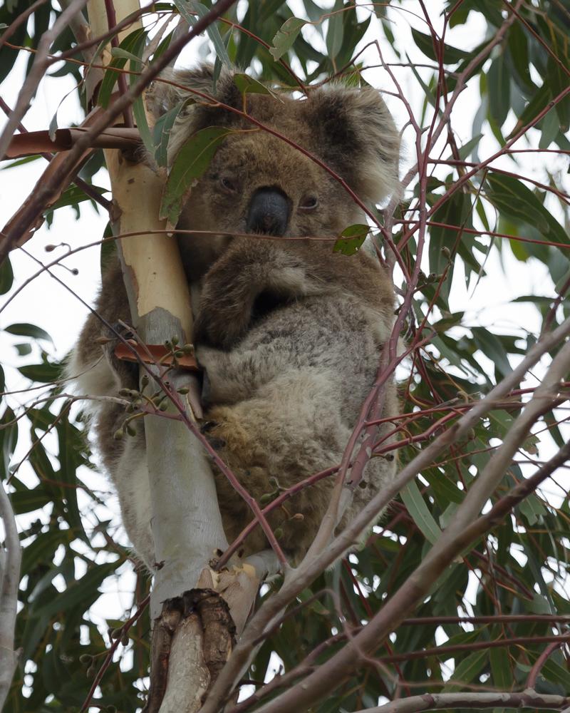 Koala YY 2016 03 05 0716 800x1000 M Serong
