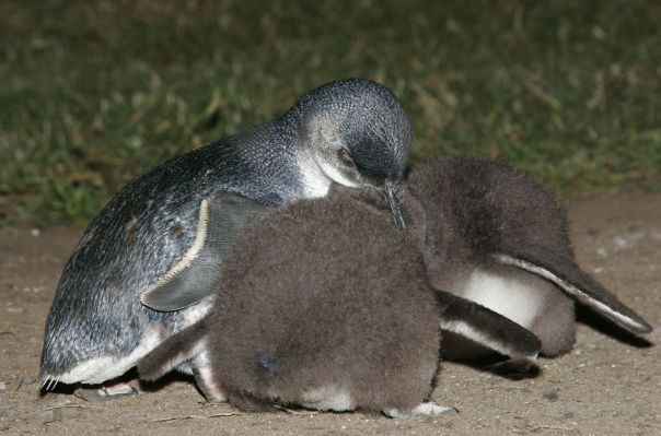 Little Penguin and chicks