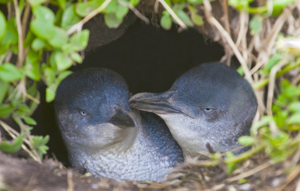 Little Penguin couple in nest