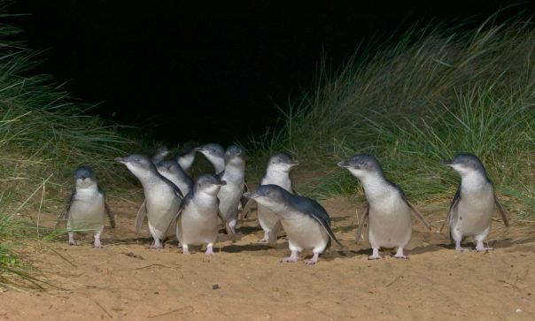 Little Penguin group on sand