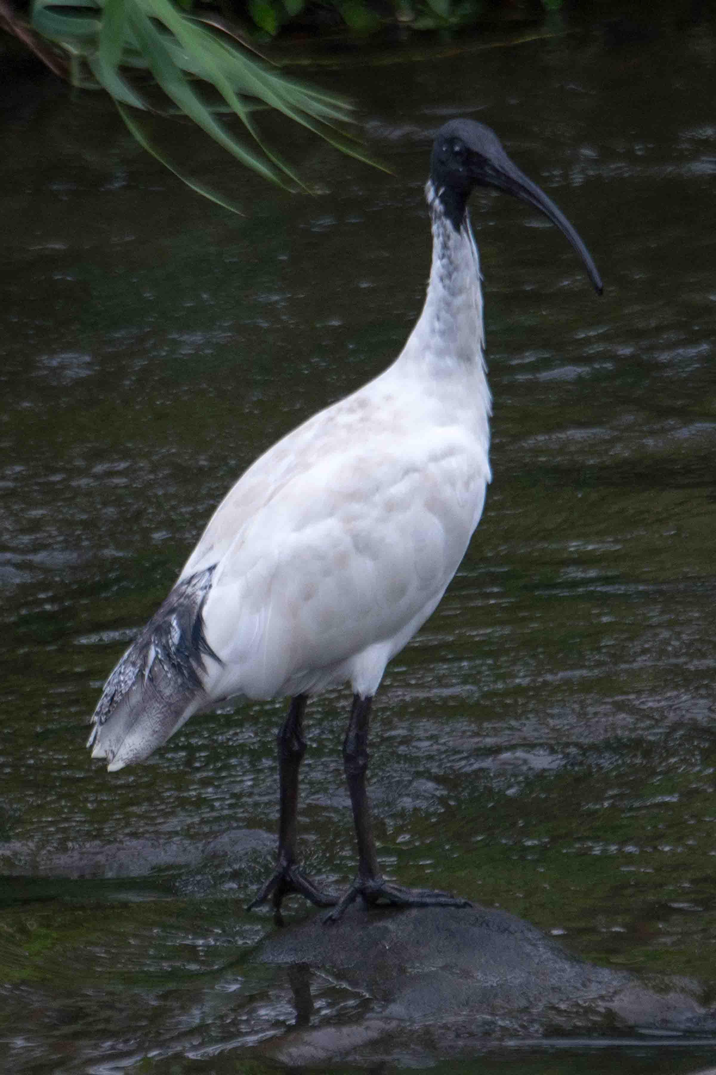 Australian White Ibis - Marilyn Ellis