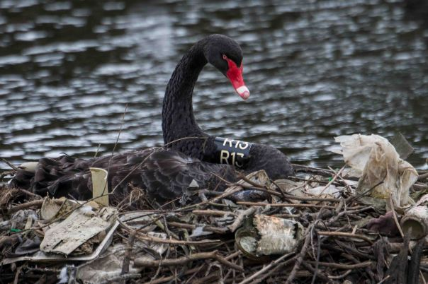 Banded Black Swan (female) on nest of litter - Marilyn Ellis