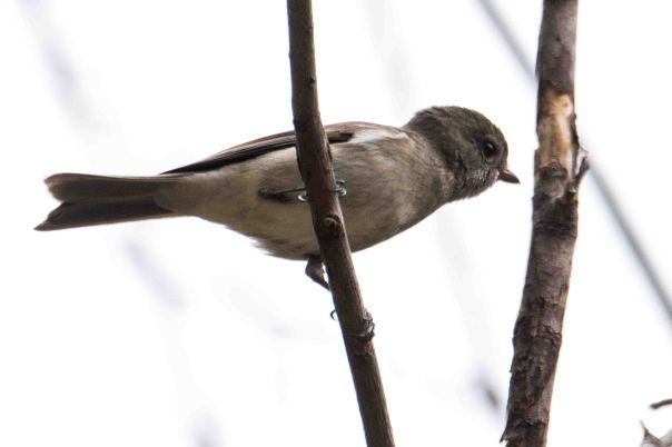 Female Golden Whistler - Marilyn Ellis