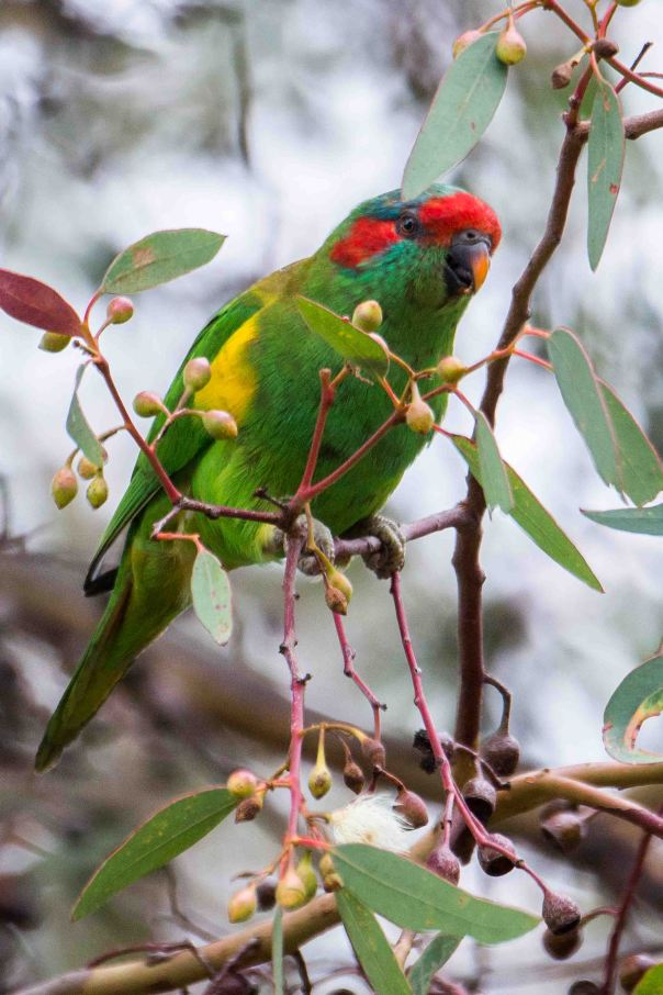 Musk Lorikeet - Marilyn Ellis