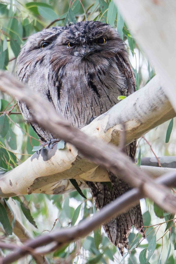 two Tawny Frogmouths - Marilyn Ellis