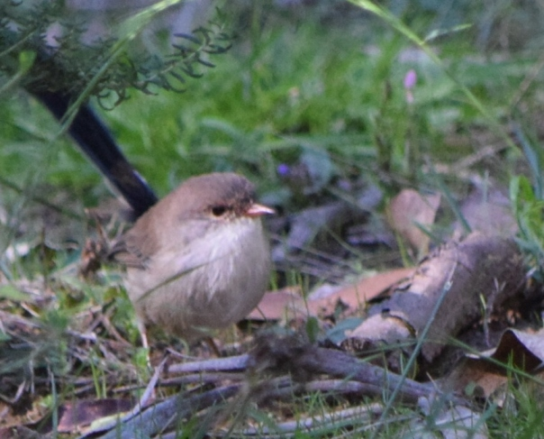 Superb Fairy-wren eclipse male- Berenice Pearcy