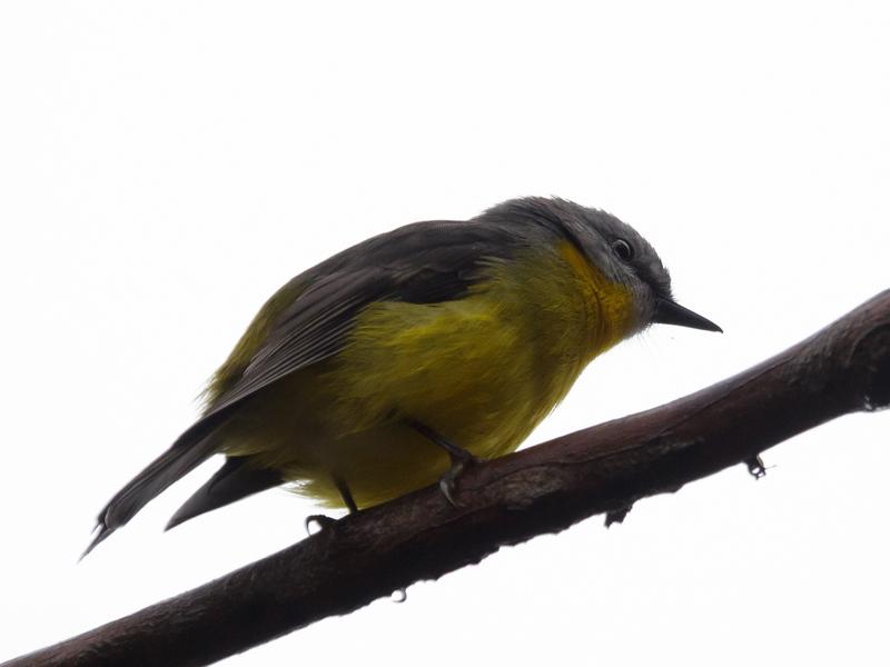 Eastern Yellow Robin YY 2016 06 04 0599 800x600 M Serong