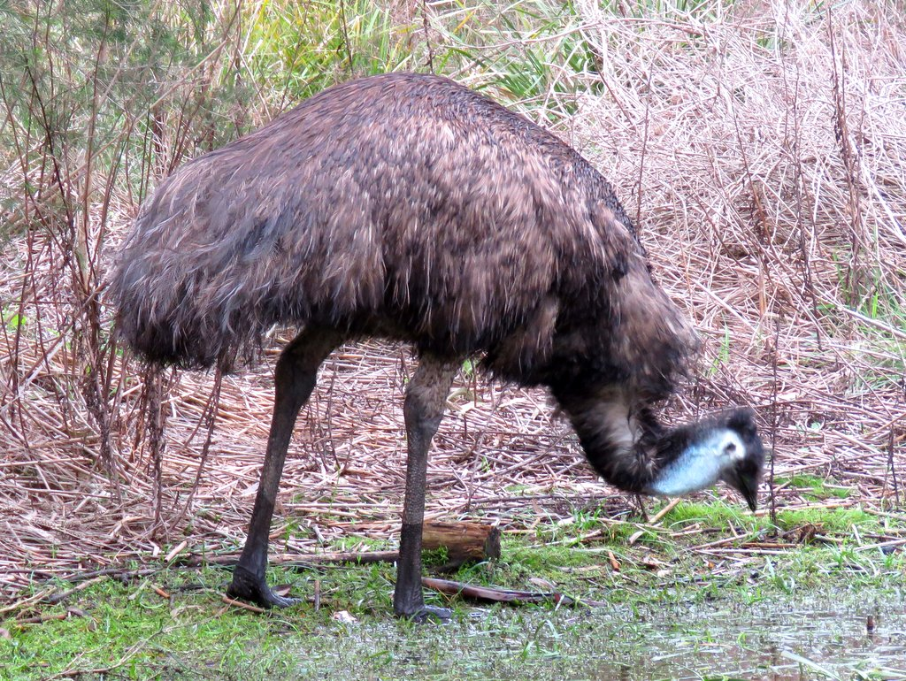 Emu AV Briars 2016