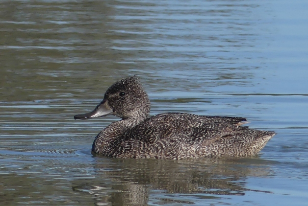 Female Freckled Duck - Margaret Bosworth