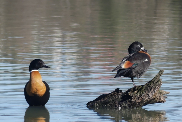 Male and female Australian Shelduck - Margaret Bosworth