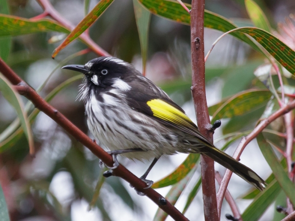 New Holland Honeyeater in Hakea laurina YY 2016 06 04 0613 800x600 M Serong
