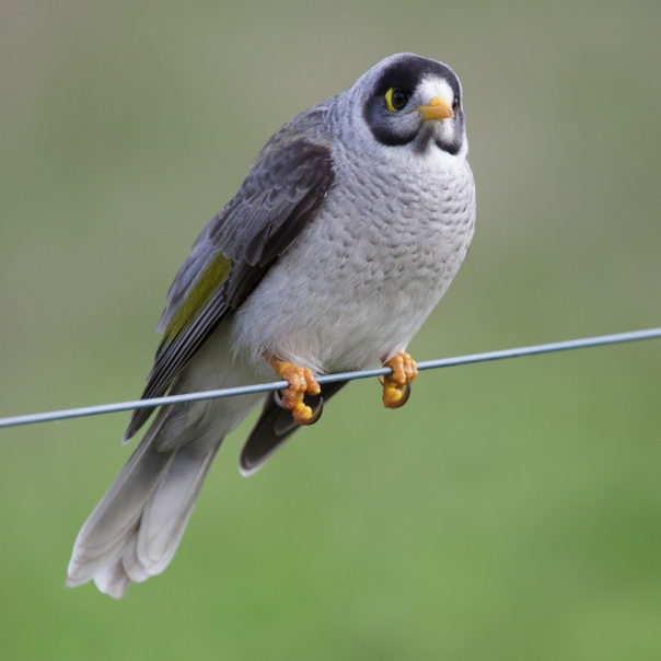 Noisy Miner The Briars 2016 05 28 0482 800 M Serong