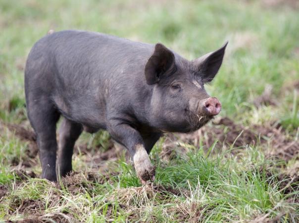 Pig The Briars 2016 05 28 0461 800x600 M Serong