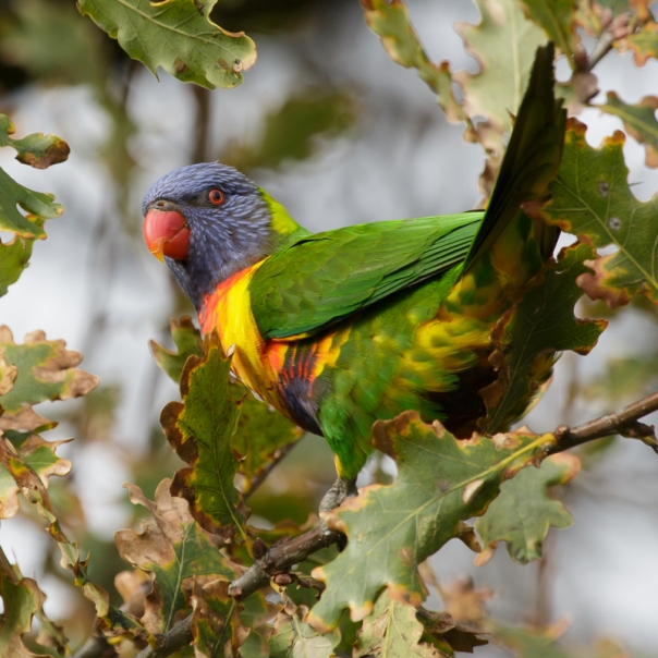 Rainbow Lorikeet The Briars 2016 05 28 0420 800 M Serong