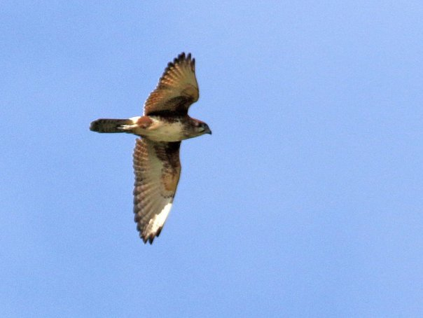 Brown Falcon Eleanor Woodlands 6_2016-001