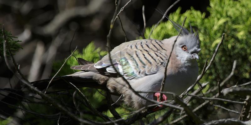 Crested Pigeon Braeside 2016 07 23 2871 800x400 M Serong