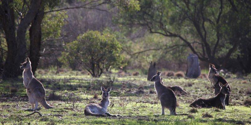 Eastern Grey Kangaroos Woodlands 2016 06 25 1553 800x400 M Serong