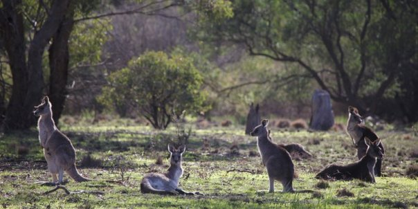 Eastern Grey Kangaroos Woodlands 2016 06 25 1553 800x400 M Serong