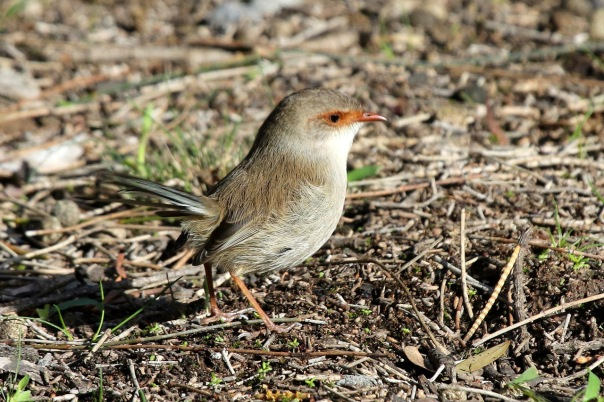 Female Supurb Fairy-wren 2 Eleanor Woodlands 6_2016