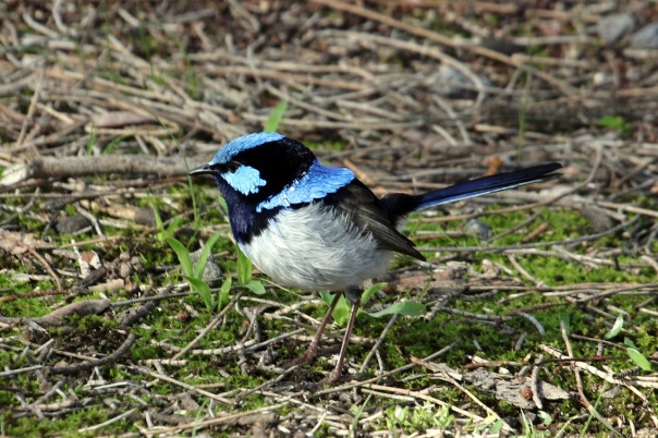 Male Superb Fairy-wren Eleanor Woodlands 6_2016-002