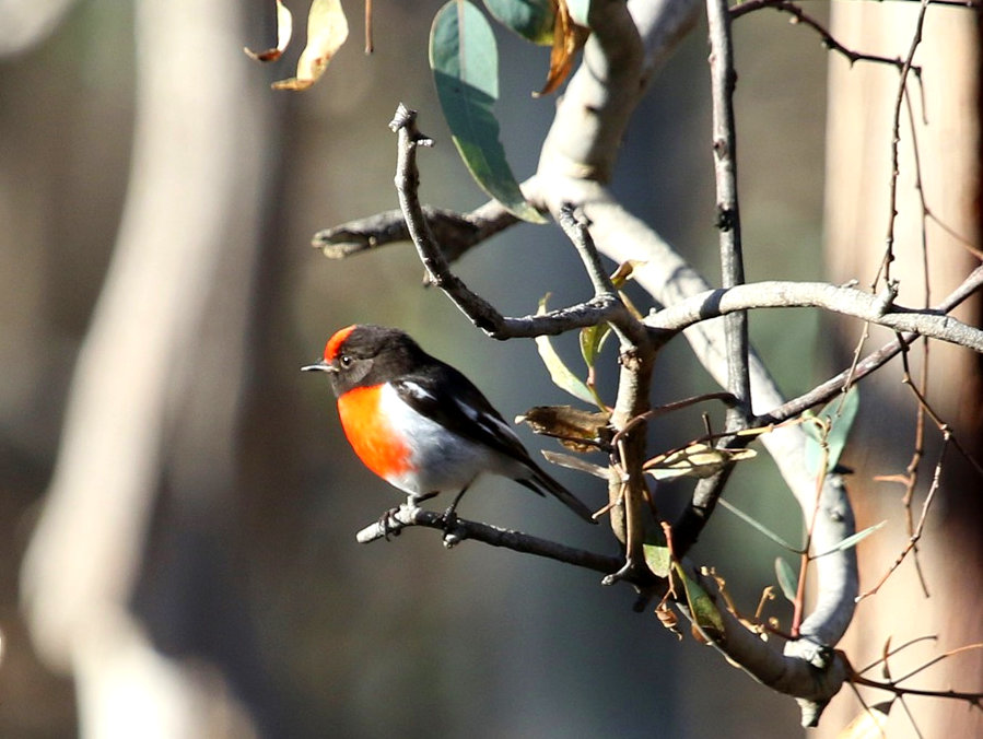 Red capped Robin-003