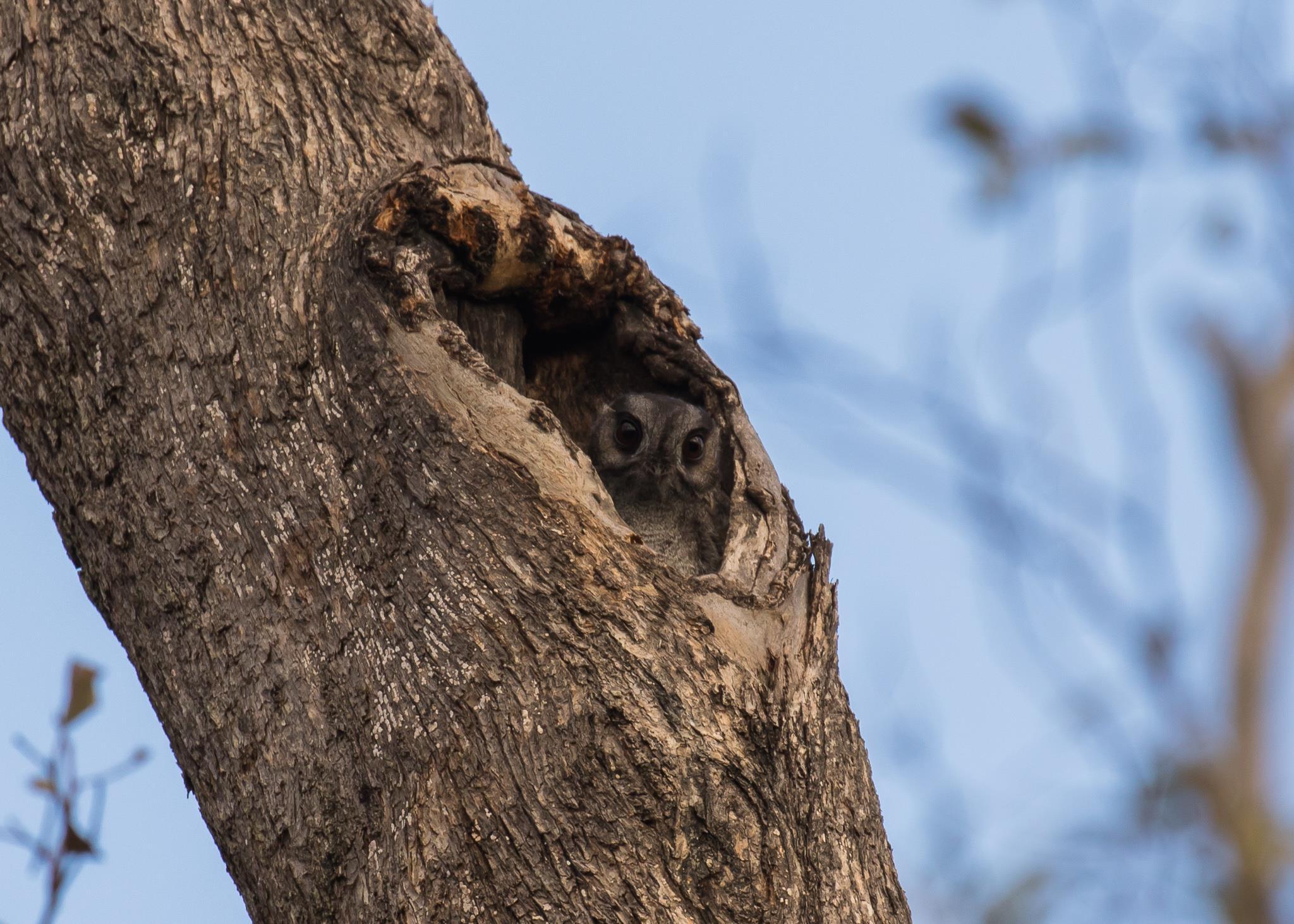 Australian Owlet-nightjar tree