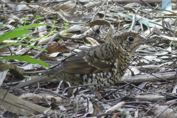 Bassian Thrush - Margaret Bosworth