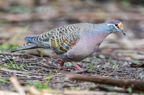 Common Bronzewing male - Stephen Garth