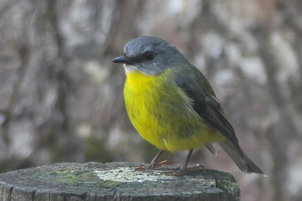 Eastern Yellow Robin - Margaret Bosworth