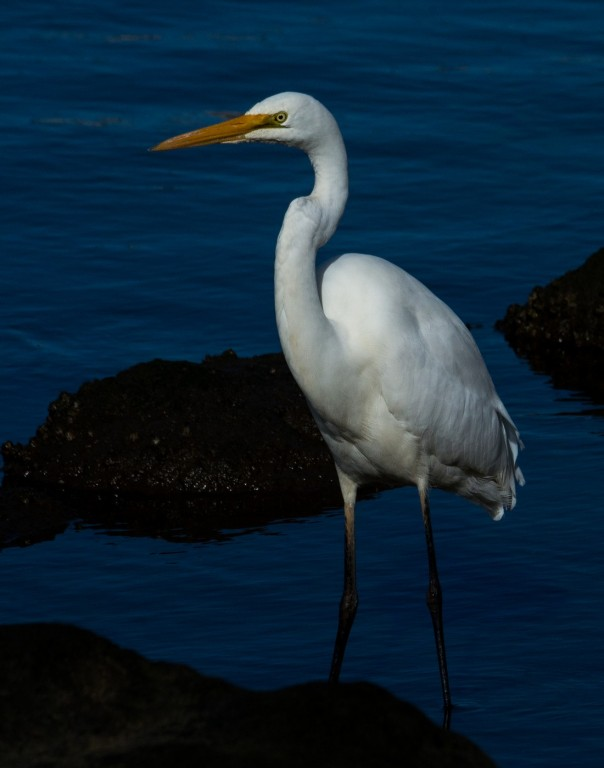 Great Egret - Marilyn Ellis