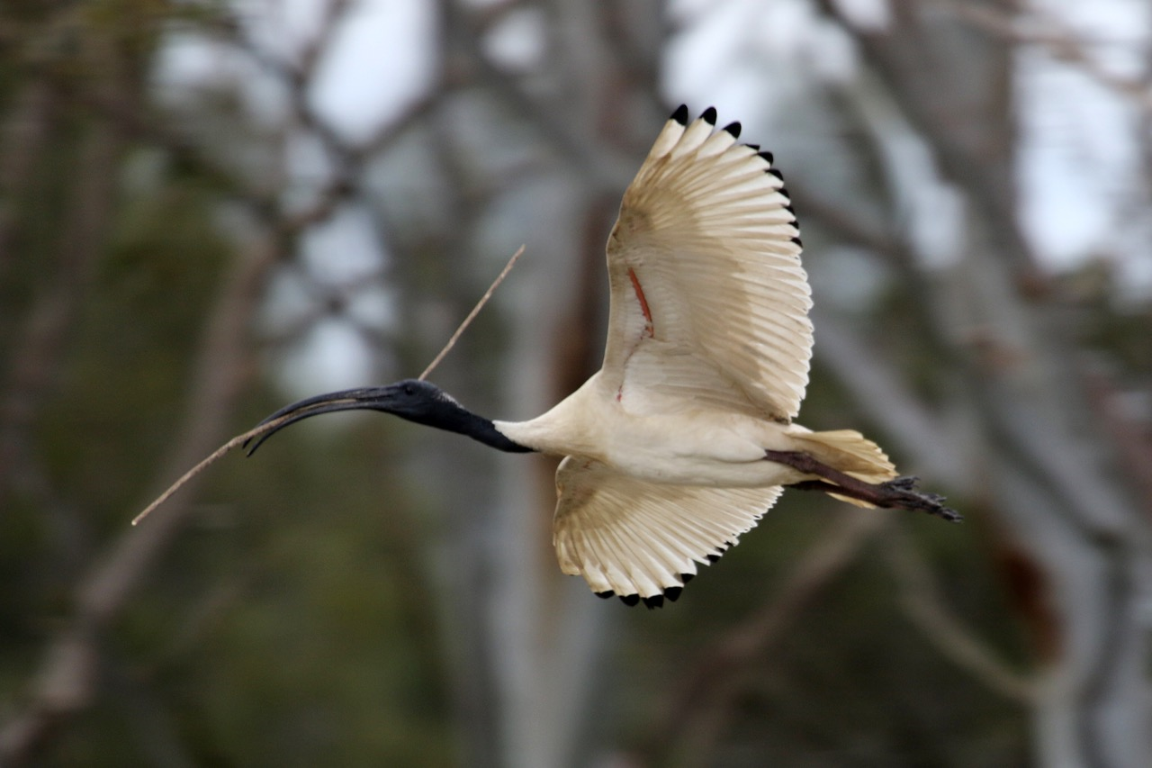 Jells Park 2016 Australian White  Ibis
