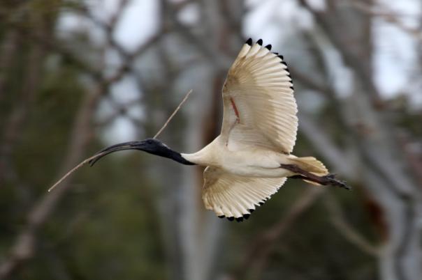 Jells Park 2016 Australian White  Ibis