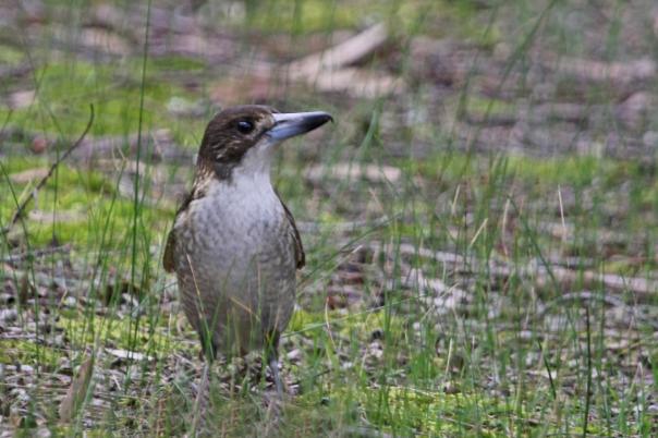 Jells Park 2016 Butcherbird