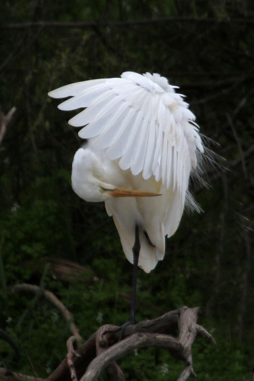 Jells Park 2016 Great Egret