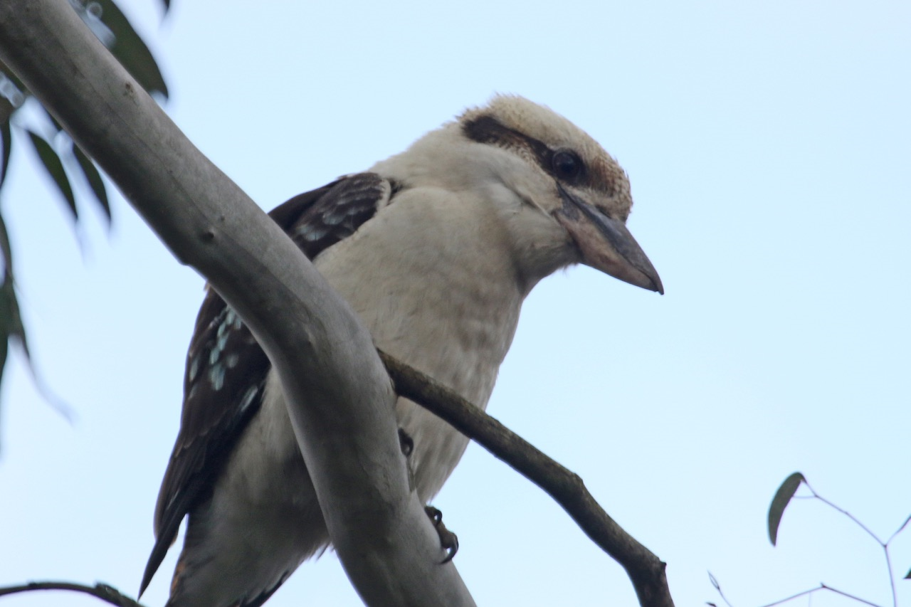 Jells Park 2016 Kookaburra