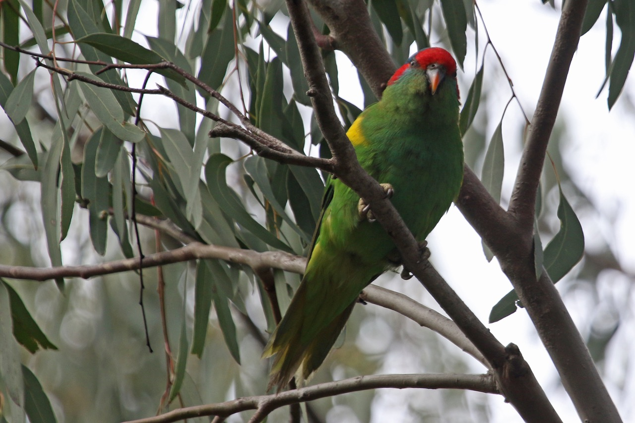Jells Park 2016 Musk Lorikeet