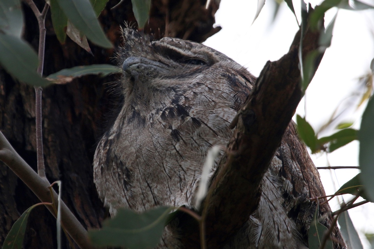 Jells Park 2016 Tawny Frogmouth