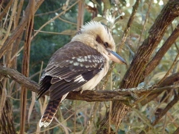 Laughing Kookaburra - Janet Hand