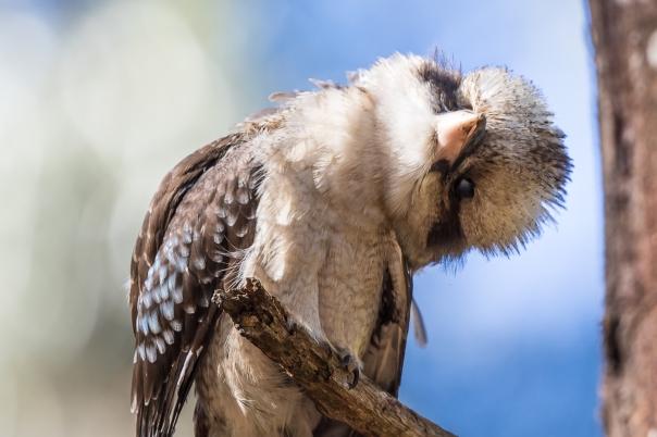 Laughing Kookaburra - Stephen Garth