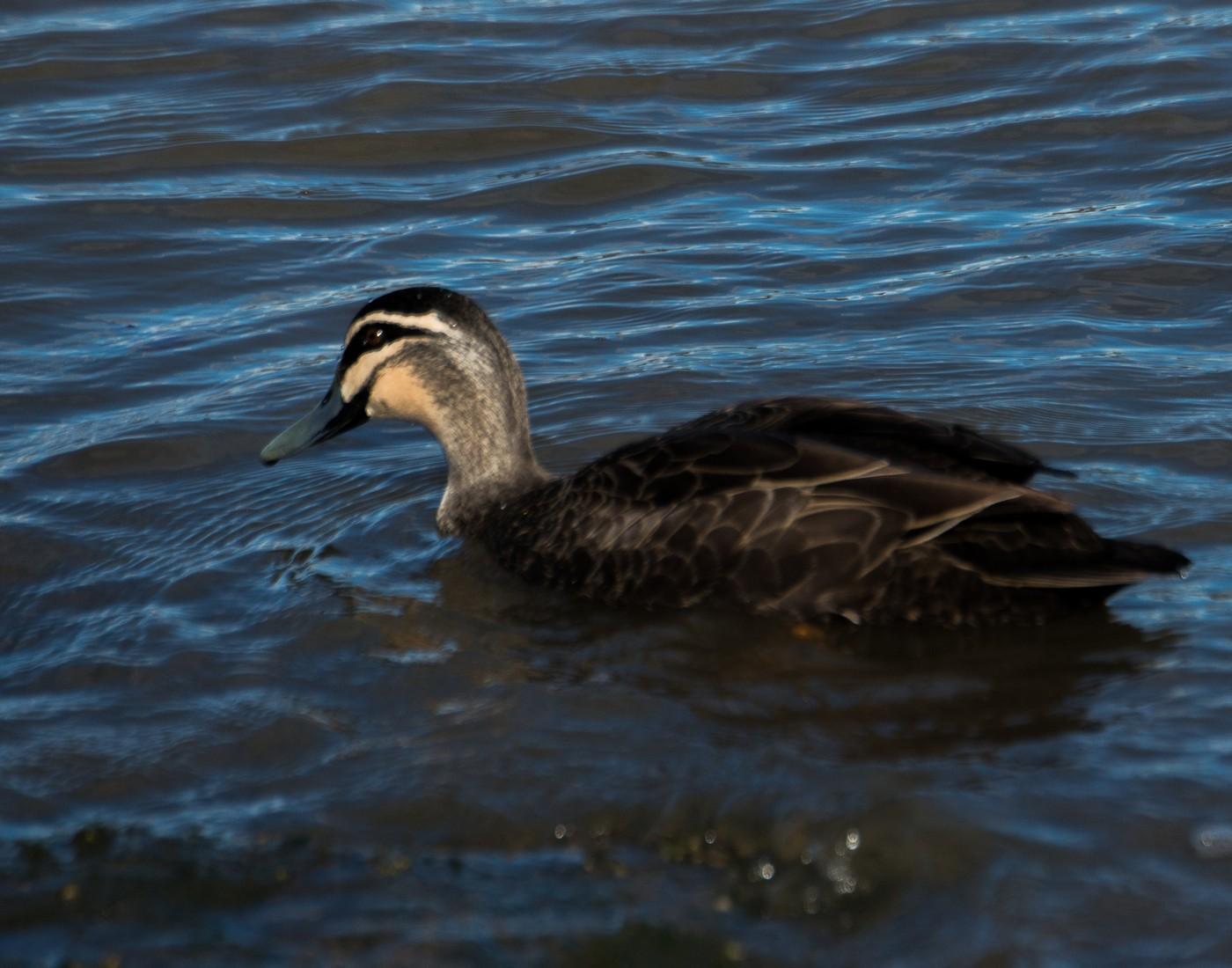 Pacific Black Duck - Marilyn Ellis