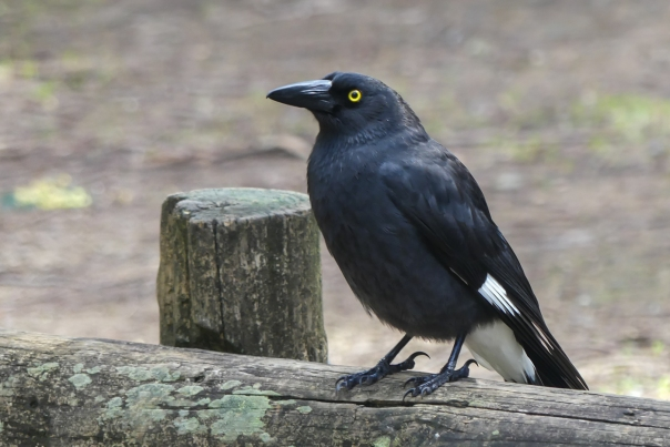 Pied Currawong - Margaret Bosworth