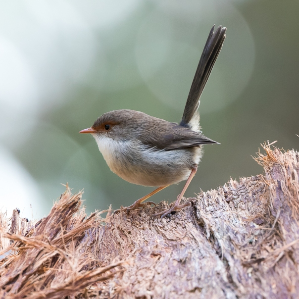 Superb Fairy-wren female - Stephen Garth