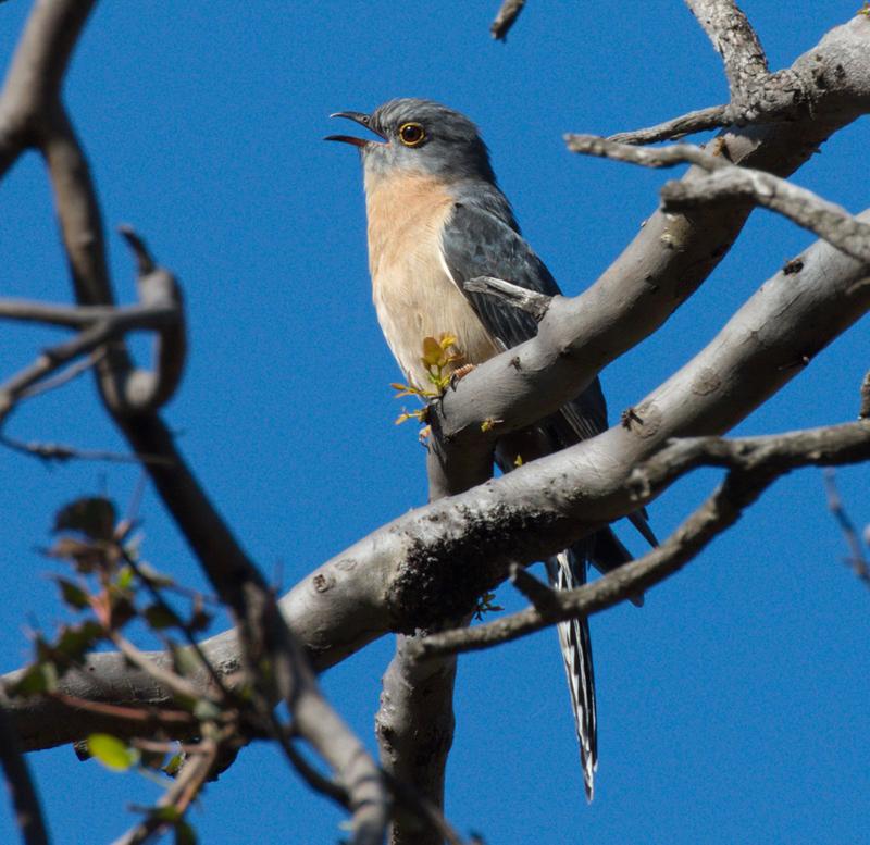 fan-tailed-cuckoo-you-yangs-2016-09-03-800x777-arthur-carew