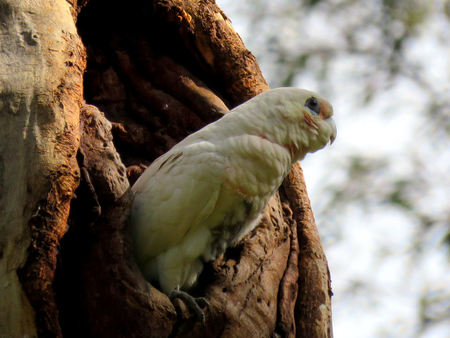 little-corella-alan-veevers