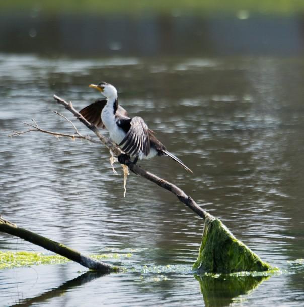 little-pied-cormorant-marilyn-ellis