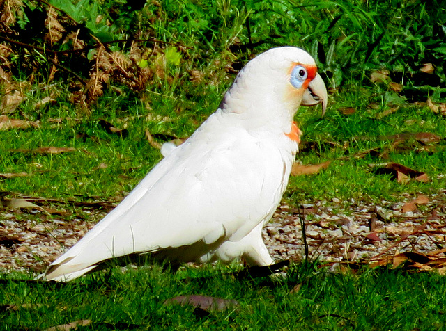 long-billed-corella-alan-veevers