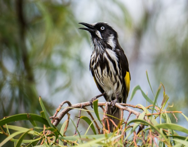 new-holland-honeyeater-marilyn-ellis