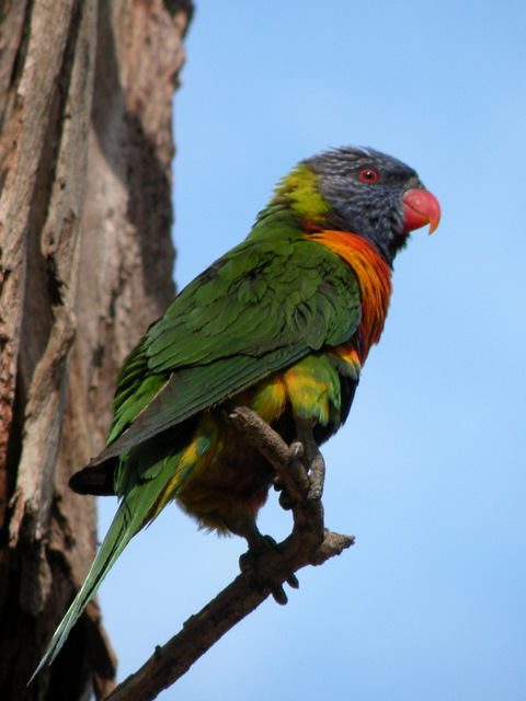 rainbow-lorikeet-alan-veevers